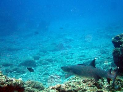 ネムリブカ 慶良間ダイビング