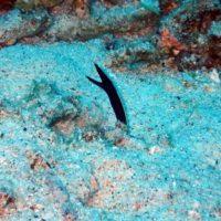 慶良間座間味 ハナヒゲウツボの幼魚