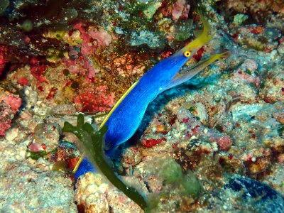 ハナヒゲウツボの成魚