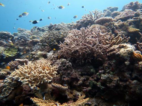 慶良間サンゴ
