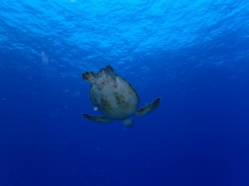 慶良間でカメと泳ぐ