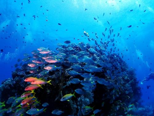 ウチザン礁ノコギリダイ