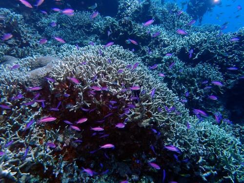 サンゴに住むハナゴイ