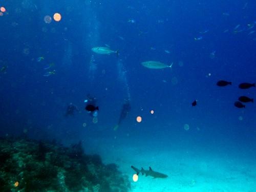 イソマグロとサメ