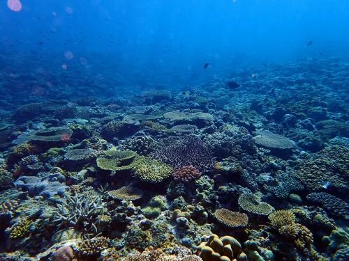 前島 サンゴの群生