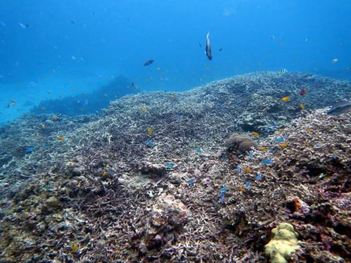 珊瑚 慶良間