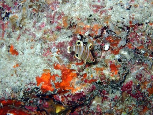 シチセンベラの幼魚