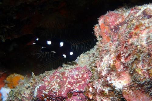 スミツキベラ幼魚
