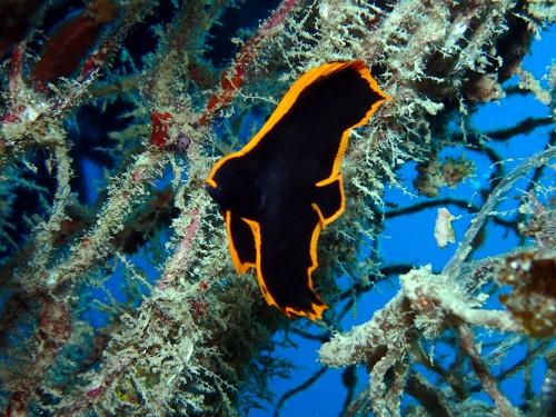 アカククリの幼魚