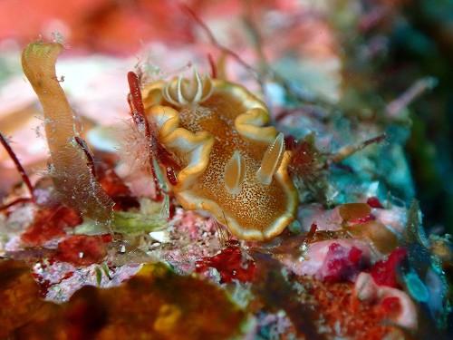 キャラメルウミウシ