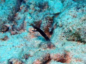 ハナヒゲの幼魚