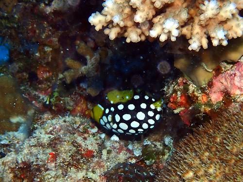 モンガラカワハギの幼魚