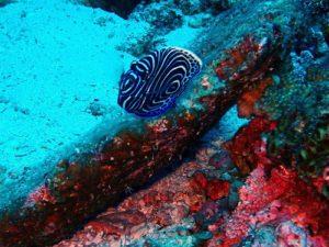 タテキンの幼魚。