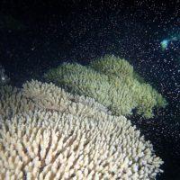 サンゴの産卵 沖縄