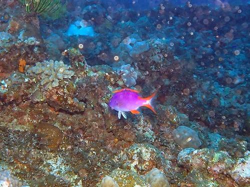 #タテスジハタの幼魚