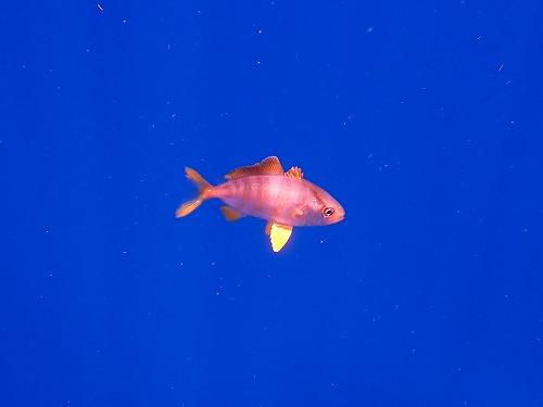 #カンパチの幼魚