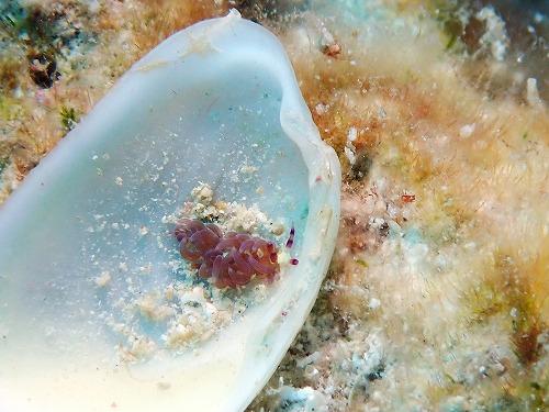ムカデミノウミウシ幼体